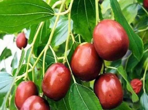 南方如何栽培鲜枣,如何培育效果好,种植的方法介绍