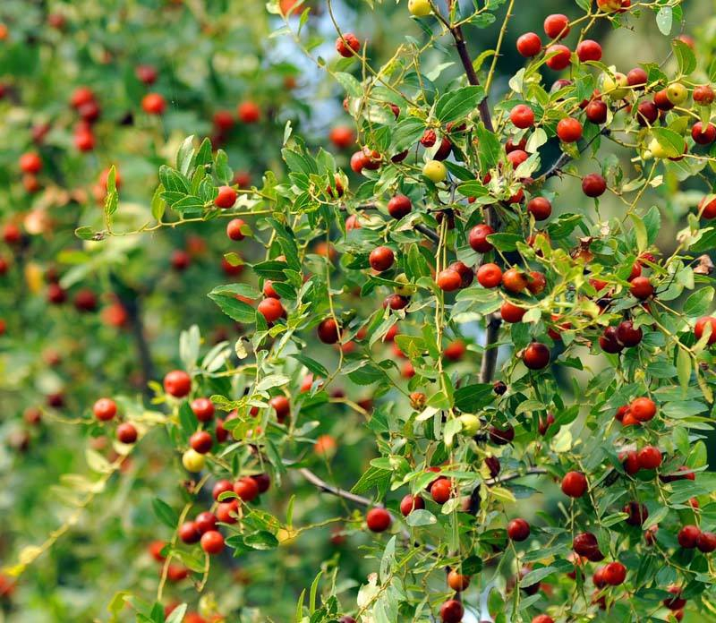 野生山枣的功效与营养价值